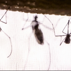 The real reason why mosquitoes buzz   Greg Gage