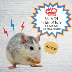 Rat-A-Tat Tickle Attack: Do Rats Even Like Being Tickled?