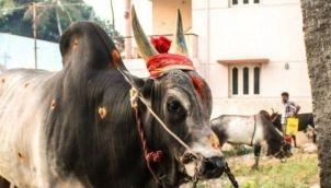 ஜல்லிக்கட்டு இஸ் ஆன் தி வே | Jallikattu Is On The Way
