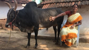 Woman who chose bull over marriage