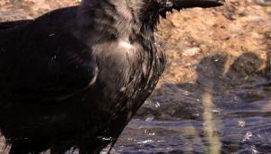 Crow in water - Kids stories in tamil